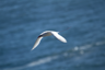 Red-tailed Tropicbird,Kilauea Point